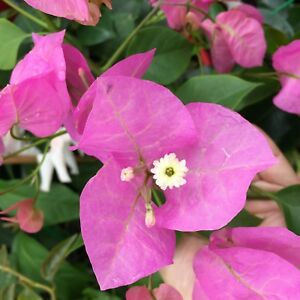Details About Texas Dawn Bougainvillea Purple Pink Flowers Climbing Plant In 140mm Pot