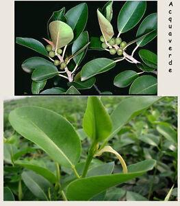 5 pianta piante ficus australis per siepe giardino terrazzo piantine in vaso 7 ebay - Siepe in vaso terrazzo ...