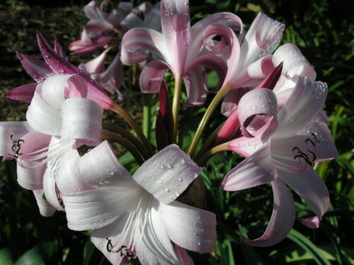 blooming-size bulb VERY RARE JUMBO Crinum Lily Peachblow Improved