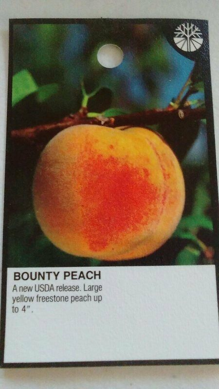 4' -5' BOUNTY Durazno vivir frutales planta dulce jugosas delicioso duraznos ahora
