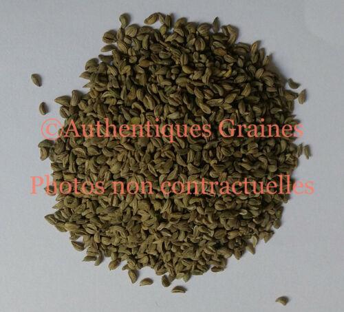 500//2500 GRAINES NT DE PERSIL PLAT Géant d/'Italie Plante Herbe Aromatique