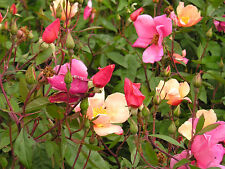 25 Mixed Colors ANGEL WINGS MINIATURE ROSE Bush Mix Rosa Chinensis Flower Seeds