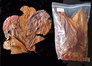 Indian Almond Catappa Discus Ketapang Leaves betta Amy's 20 Grams Grade D