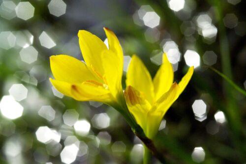 Sisyrinchium californicum-Giallo Raso Fiore-perenne X 50 FRESCO SEMI 2015