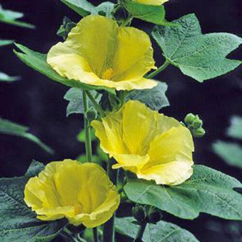 Alcea rosea sunshine Hollyhock 10 seeds
