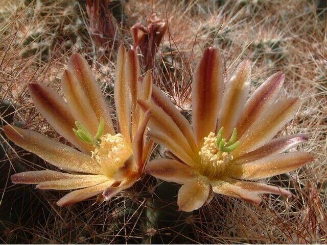 Echinocereus mixed species - Hardy Hedgehog Cactus - 20 Seeds