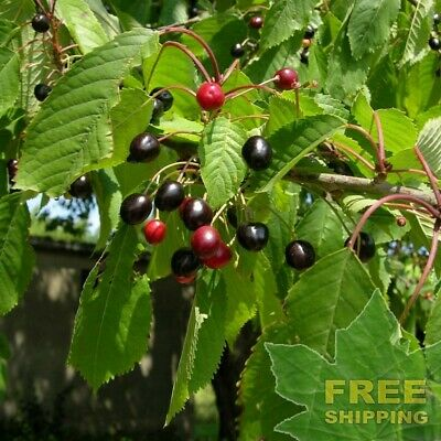 20 Combined S/&H Black Cherry Tree Seeds Prunus serotina