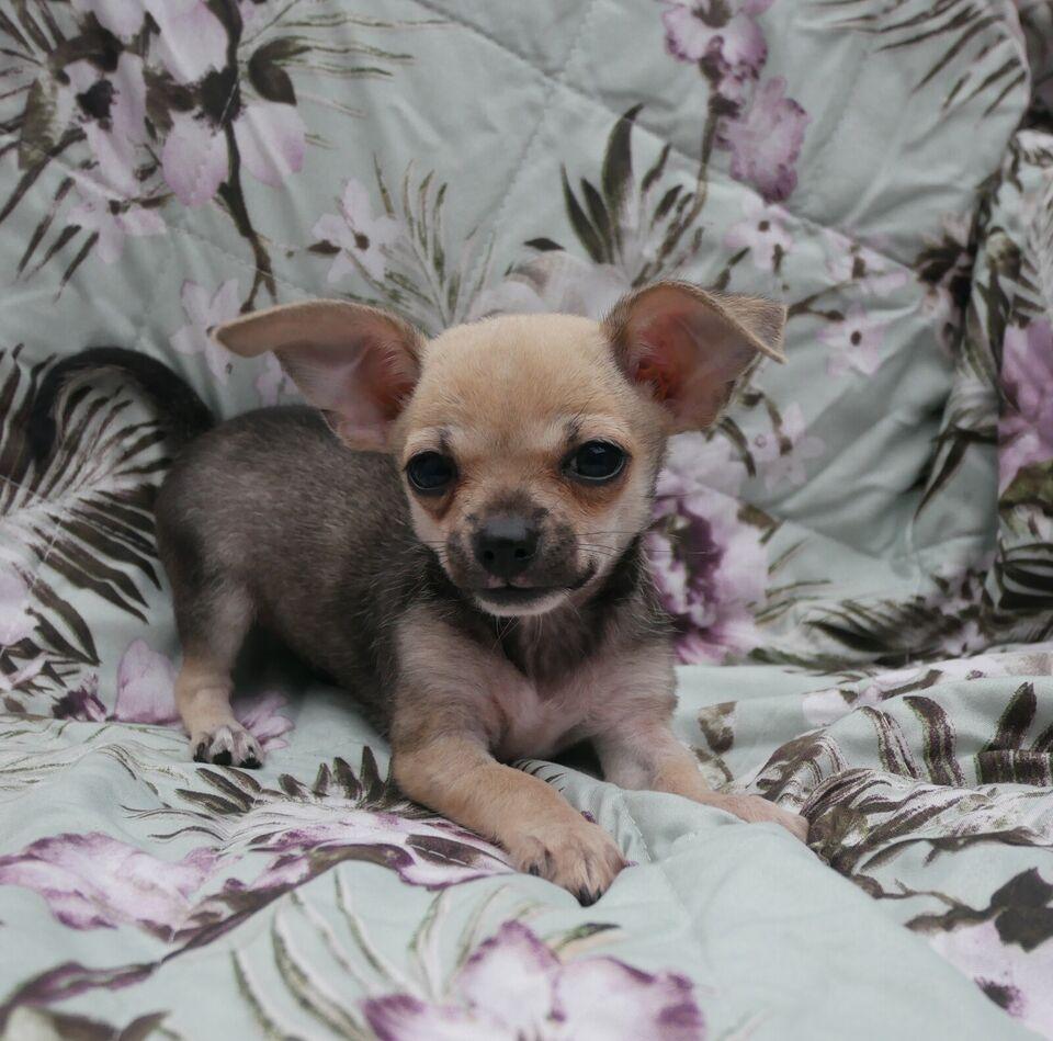 Chihuahua, hvalpe, 12 uger