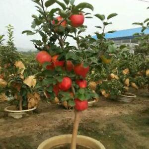 Image Is Loading 20 Bonsai Apple Tree Seeds Apple Seeds Fruit