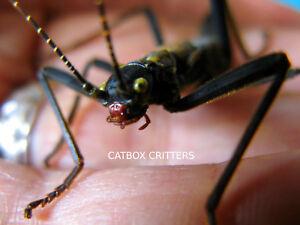 25 Eier. Black Beauty/Samt. peruphasma schultei. Stick Insect. Aufbau.