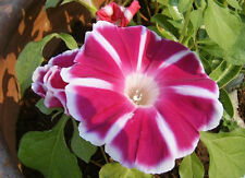 Morning Glory Rosita Ipomoea Nil 5 seeds* Easy Grow * Gorgeous * unusual CombSH