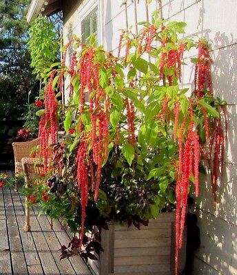 seeds Love Lies Bleeding Amaranth ornamental veggie heirloom 50