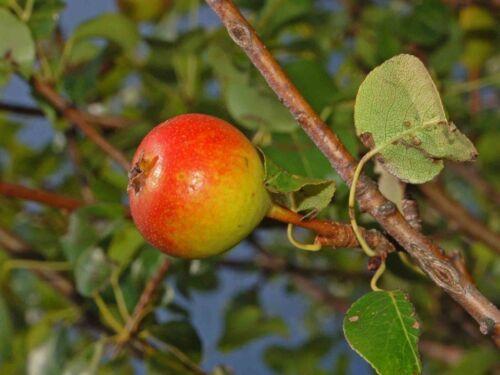 Wild Pear Heirloom! Pyrus pyraster 25+ seeds