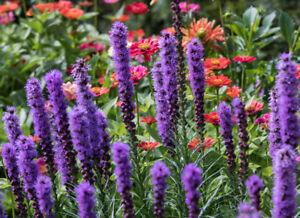 Eine Wunderschöne Garten Blume Die Lila Prachtscharte Ebay