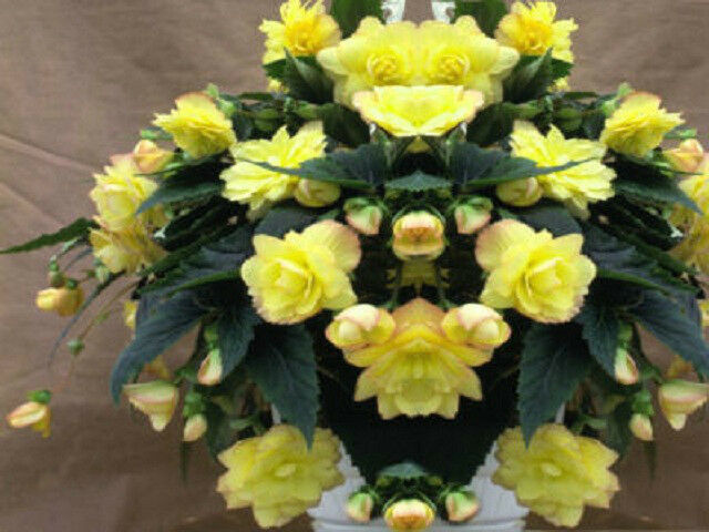 15 Begonia Seeds Trailing Cascade Beauty Yellow Pelleted Seeds
