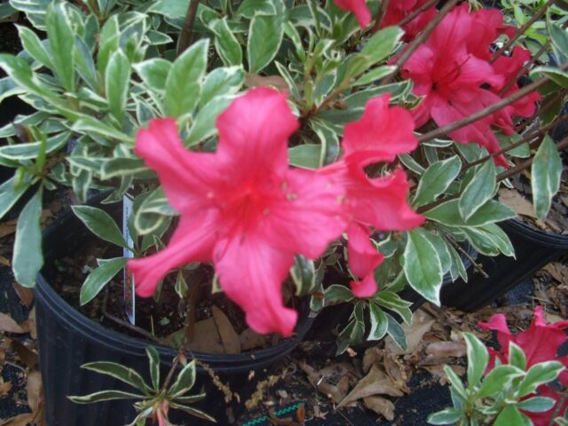 Azalea 'Silver Sword', unusual variegated leaves, dark pink, TEN plants