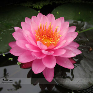 Pink nelumbo nucifera lotus flowers seeds pink lotus seeds flowers image is loading pink nelumbo nucifera lotus flowers seeds pink lotus mightylinksfo