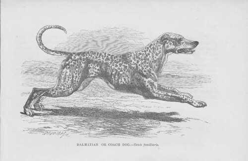 Dalmatiner Irish Setter Hunde HOLZSTICHE von 1863 Hunderassen wood engraving