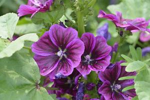 Jardin plantes graines hiver dure zierpflanze semences vivace mauritanienne mauve  </span>
