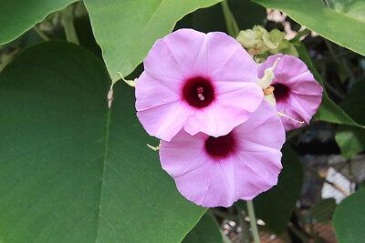Garten Balkon Samen exotische Pflanze Kübelpflanzen Exot SCHARLACH HIBISKUS