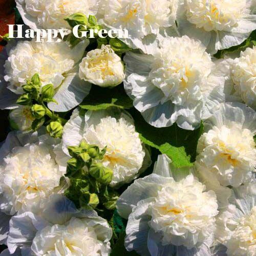 Malvone 50 semi-chaters DOPPIO TRIONFO Bianco-Althea rosea-Fiore