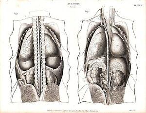 1814 DATED PRINT ANATOMY ~ VISCERA ~ INTERNAL ORGANS ABDOMINAL SPINE