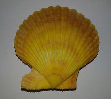 Conchiglia Shell CHLAMYS SENATORIA NOBILIS  mm 87,5  colore Giallo  Giappone