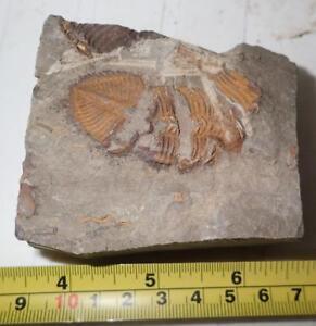 Fossil-Golden-Trilobite-Coronocephalus-jastrowi-on-Matrix-Rock-47x22-mm-244-g