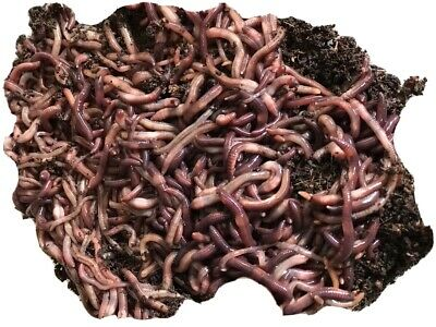 100 Red Wiggler Worms Garden Composting Reptile And Poultry Feed