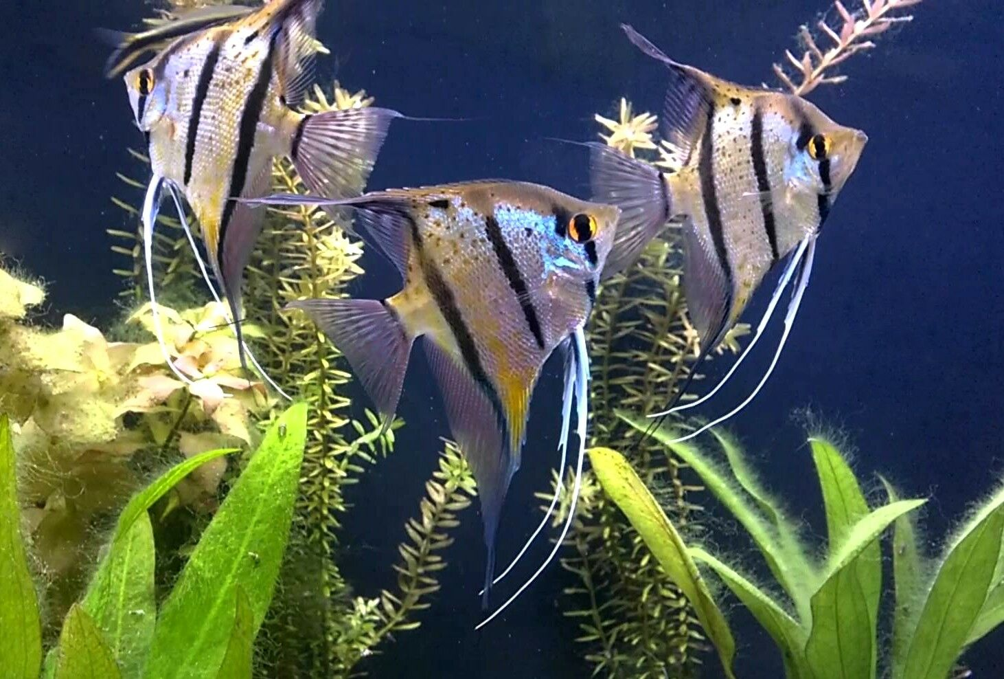 Pair of Río Nanay Angelfish (Pterophyllum scalare, Cichlid)