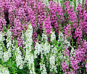 ANGELONIA-SERENA-MIXED-COLORS-Angelonia-Angustifolia-100-Bulk-Seeds