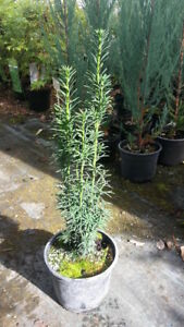 Taxus-Fastigiata-robusta-schlanke-Saeuleneibe-50-60cm