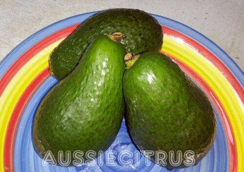 GRAFTED SHEPARD AVOCADO,TREE,TROPICAL,jam,spice,herb, plant,fruit tree