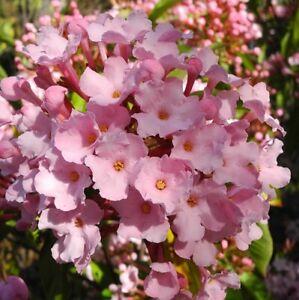 Beautiful-rare-Luculia-pinceana-Delicious-sweet-scent