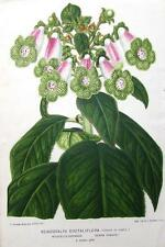 DIGITALIFLORA, KOHLERIA WARSZEWICZII, Linden Antique Botanical Flower Print 1870