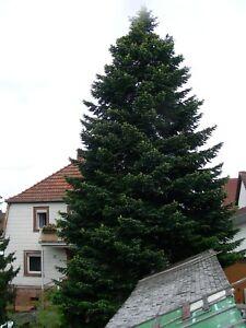 Douglasie Weihnachtsbaum Kaufen.Details Zu Weihnachtsbaum Douglasie 17 20 M Christbaum Baum Christkindlmarkt Weihnachtsmark