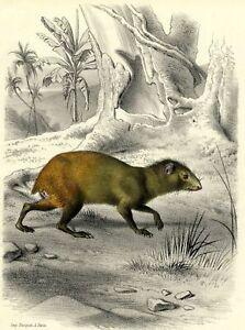 Histoire-Naturelle-Agouti-Rat-Kangourou-Lithographie-originale-Edouard-Travies