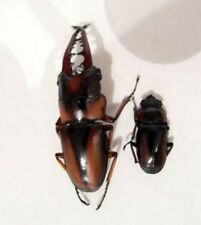 Xylotrupes pubescens Furry Beetle PICK SIZE 35-55mm Taxidermy REAL Unmounted