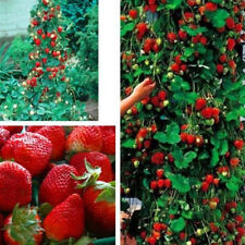 100 Red Climbing Strawberry Seeds Garden Fruit Plant Everbearing Sweet Delicious