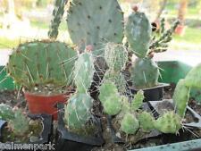 10 Kakteen winterhart 5-15cm Opuntien bis-25°C Sortiment Sukkulenten Pflanzen