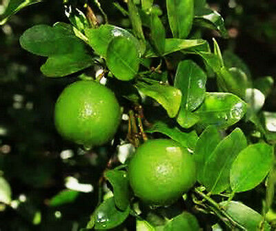 Lime Tree Seeds 5 Key Lime Tree Seeds Grow Your Own Limes