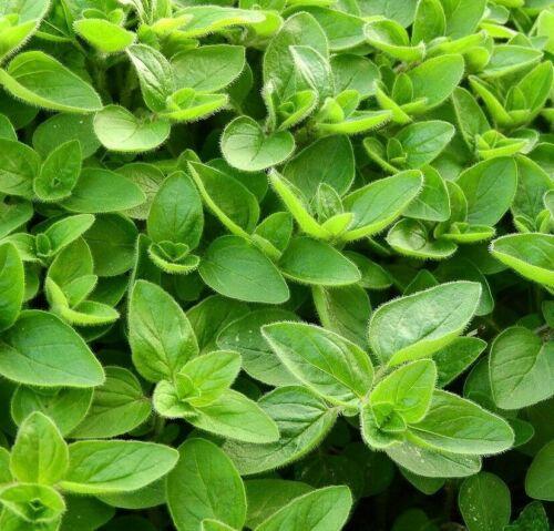 Véritable Marjolaine 500 Graines Origanum majorana Sweet Marjoram Seeds herbes épices