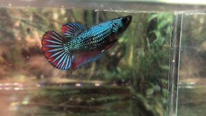 betta fish female Alien Wild Betta (read Terms Before Buy)