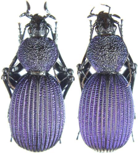 Mbeya,S.Tanzania Tefflus carinatus violaceus Pair 32~35mm ....!! Insect