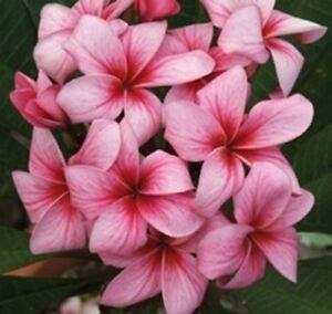 5-Fresh-Seeds-Frangipani-Plumeria-Rubra-034-Thai-Firecracker-034