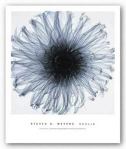 PHOTO FLORAL ART PRINT Dahlia by Steven Meyers