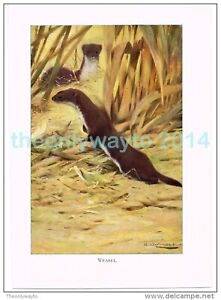 WEASEL-BOOK-ILLUSTRATION-PRINT-LYDEKKER-c1916