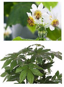 Zwei Beliebte Zimmerpflanzen Die Zimmerlinde Und Die Zimmeraralie