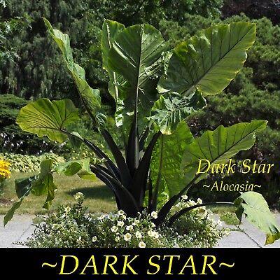 Dark Star Alocasia Huge Black Elephant Ear Live Sml Potd Starter