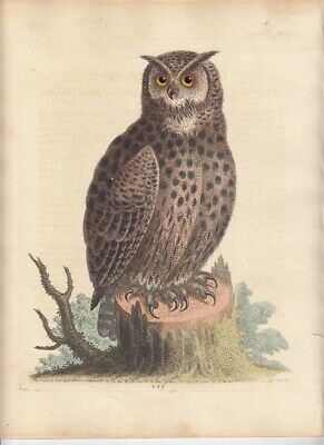 The Great Horned Owl Original Colour 1798 After George Edwards Ornithology